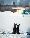 Chien de traîneau sibérien de fond dans la cage attendant une course Images stock