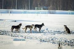 Chien de traîneau sibérien de fond dans la cage attendant une course Photo stock
