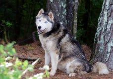 Chien de traîneau sibérien de Malamute d'Alaska Image libre de droits