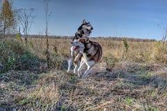 Chien de traîneau sibérien mignon jouant dessus Photographie stock libre de droits