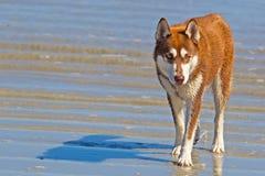Chien de traîneau sibérien rougeâtre sur la plage photo libre de droits