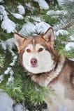 Chien de traîneau sibérien rouge au sujet de d'arbres couverts de neige photographie stock libre de droits