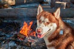 Chien de traîneau sibérien rouge de portrait se reposant par le feu de camp dans la forêt d'hiver dans le jour givré ensoleillé S Photo stock