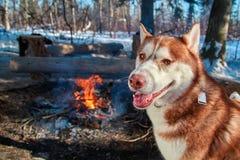 Chien de traîneau sibérien rouge se reposant par le feu de camp dans la forêt d'hiver dans le jour givré ensoleillé Sourires et r Photo stock