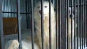 Chien de traîneau sibérien se reposant dans une cage clips vidéos