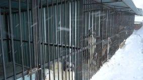 Chien de traîneau sibérien se reposant dans une cage banque de vidéos