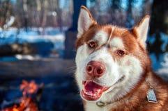 Chien de traîneau sibérien se reposant par le feu de camp dans la forêt d'hiver dans le jour givré ensoleillé Sourires et regards Photographie stock