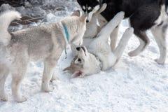 Chien de traîneau sibérien VI Image libre de droits