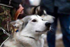 Chien de traîneau sibérien X Photos libres de droits