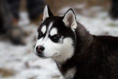 Chien de traîneau sibérien XI Photos libres de droits