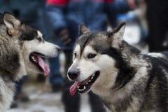 Chien de traîneau sibérien XIV Photos libres de droits
