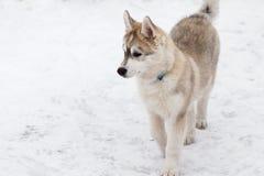 Chien de traîneau sibérien XVIII Photographie stock