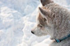 Chien de traîneau sibérien XXII Images libres de droits