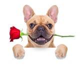Chien de valentines Photo stock