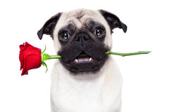 Chien de valentines Images stock