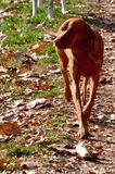 Chien de Vizsla Photo stock