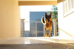 Chien de vol Photos stock
