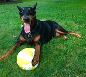 Chien de volleyball image stock