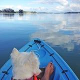 Chien de Westie kayaking sur les eaux calmes Photographie stock