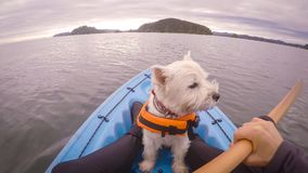 Chien de westie de terrier blanc de montagne occidentale kayaking dans Paihia, baie o Photos libres de droits