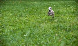 Chien de whippet fonctionnant sur l'herbe Photos libres de droits