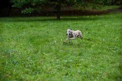 Chien de whippet fonctionnant sur l'herbe Photographie stock libre de droits