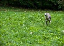 Chien de whippet fonctionnant sur l'herbe Photo stock