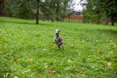 Chien de whippet fonctionnant sur l'herbe Image libre de droits
