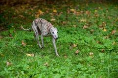 Chien de whippet marchant sur l'herbe Image libre de droits
