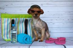 Chien de Yorkie prêt à aller à la plage avec son chapeau et ses verres photographie stock libre de droits