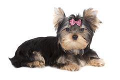 Chien de Yorkshire Terrier Photos libres de droits