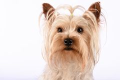 Chien de Yorkshire Terrier de portrait attentif Images stock