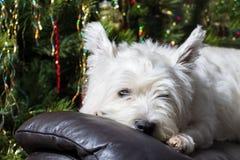 Chien des montagnes occidental blanc adorable de Terrier reposant sa tête sur le fauteuil avec l'arbre de Noël à l'arrière-plan Photo libre de droits