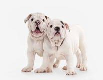 Chien Deux chiots anglais de bouledogue sur le fond blanc Photo stock
