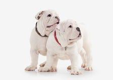 Chien Deux chiots anglais de bouledogue sur le fond blanc Photographie stock