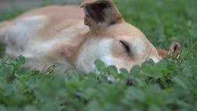 Chien dormant dehors banque de vidéos