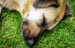 Chien dormant sur l'herbe image libre de droits