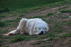 Chien dormant sur l'herbe Photos stock