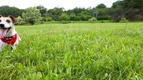 Chien drôle adorable dans le foulard rouge fonctionnant sur l'herbe verte Temps de week-end d'Activw avec l'animal familier Enreg banque de vidéos