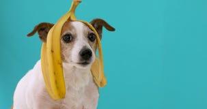 Chien drôle avec la peau de banane sur son portrait principal banque de vidéos