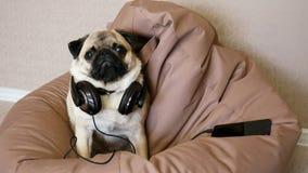 Chien drôle de roquet dans de grands écouteurs écoutant la musique se situant dans une chaise de sac banque de vidéos