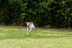 Chien drôle adorable Jack Russell Terrier photos libres de droits