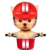 Chien drôle de coureur avec le vélo et le casque Photo libre de droits