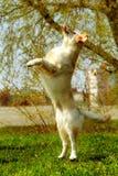 Chien drôle de golden retriever jouant et sautant pendant l'été Photos libres de droits
