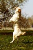 Chien drôle de golden retriever jouant et sautant pendant l'été Images libres de droits