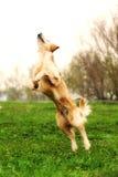 Chien drôle de golden retriever jouant et sautant pendant l'été Image libre de droits