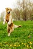 Chien drôle de golden retriever jouant et sautant pendant l'été Photo stock