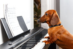 Chien drôle jouant le piano Photographie stock