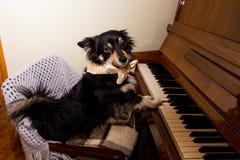 Chien dr?le mignon jouant le piano image libre de droits