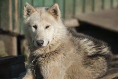 Chien du Groenland dans Sismiut Images libres de droits